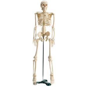jeulinsquelette